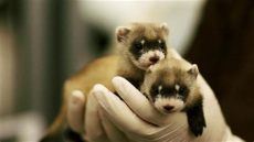 black foosites kids ferret babies key to species rebound
