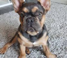 perros en venta en houston tx mascotas en venta dallas latinodeal