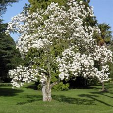 magnolia denudata singing tree gardens nursery - Magnolia Denudata For Sale