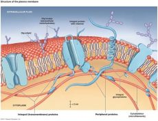 cell membrane structure picture why can only small molecules pass through the phospholipid bilayer of the cell membrane