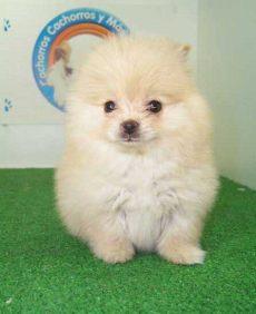 perros en venta en houston tx adorable perritos de raza pomerania en venta l2sanpiero