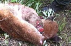 cougar paws near me 2 000 reward offered for poacher who sawed s paws as it lay dead on side of road