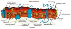 cell membrane structure cell membrane definition function and structure biology dictionary