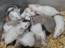 live feeder rats for sale near me fancy and feeder mice in st louis