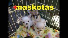 cachorros en venta chihuahua monterrey - Perros Chihuahua En Venta Monterrey