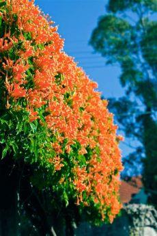 climbing plants for pergolas australia best climbing plants burke s backyard