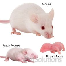 feeder rats for sale online feeder mice quot pocket pets quot 4 sale