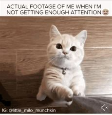 attention cat gifs tenor - Cat Pay Attention To Me Gif
