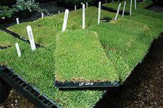 new tech grass made for the shade june 2008 tech today ttu - Best Grass For Texas Shade