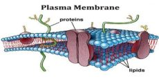 introduction of plasma membrane assignment point - Plasma Cell Membrane Definition Biology
