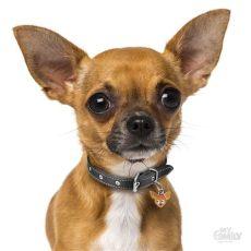 carreolas para perros chihuahua 191 sabes c 243 mo cuidar a un perro chihuahua el diario de coahuila