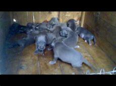 perros chihuahua en venta monterrey cachorros pitbull 100 blue venta en monterrey nuevo a p b t pit bull