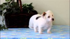 used trolines for sale jackapoo puppies for sale