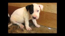perros pitbull en venta en houston tx venta de perros american pitbull