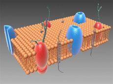 3d model cell membrane - Cell Plasma Membrane 3d Model