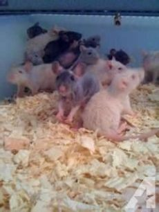 live feeder rats for sale near me dumbo rex dumbo rex doublerex hairless and feeder rats availible for sale in defense depot