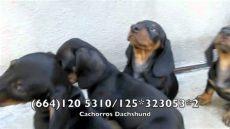 cachorros dachshund en venta tijuana san diego ca - Venta De Perros En Mexicali 2016