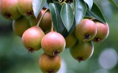 pear tree designs wallpaper pear tree wallpapers images photos pictures backgrounds