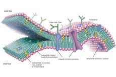 cell membrane function and structure cell membrane function and structure