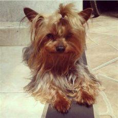 perros yorkies en venta en mexicali vendo venta yorkie yorky shire terrier mini plata 850 000 en mercado libre