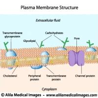 structure of cell membrane labeled molecular cell biology genetics gallery information illustrated