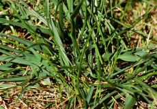 tall fescue grass types fescue grass care and growing guide