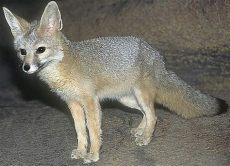kit animal kit fox big ears in the desert animal pictures and facts factzoo