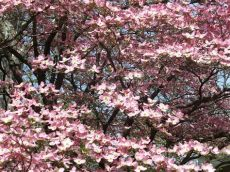 types of dogwood trees in pa putting some in your step with flowering trees tomlinson bomberger