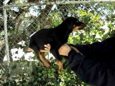 perros doberman en venta en houston tx doberman perros doberman en venta en mexico
