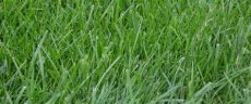 tall fescue grass types all you need to about kentucky 31 fescue