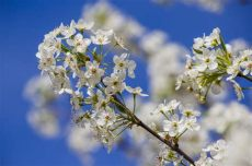 pear tree designs wallpaper quot pear tree quot by pistos caedes desktop wallpaper flowers photography pear trees tree