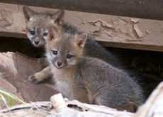 kit animal want to more about foxes effective wildlife solutions