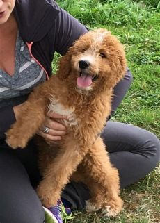 used trolines for sale puppy for sale goldendoodles for sale puppies ny adopt rochester canada wine apple