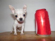 perros chihuahua en venta monterrey venta de perros chihuahua de bolsillo en monterrey noticias perro