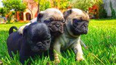 perros en venta mexicali venta perros pug anunciosgratis mx