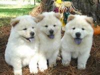 perros en venta mexicali animales en baja california