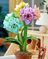 cheap amaryllis bulbs for sale wholesale amaryllis bulbs buy cheap amaryllis bulbs 2019 on sale in bulk from