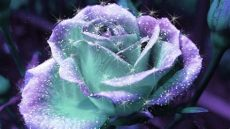 sparkle rose wallpaper sparkle beautiful pictures photo 19401614 fanpop page 2