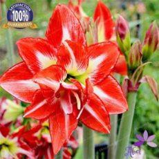 cheap amaryllis bulbs for sale 4 bulbs amaryllis bulbs true hippeastrum bulbs flowers not seeds cheap sale canada 2019 from