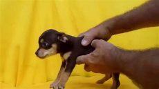 perros chihuahua en venta monterrey chihuahua perros chihuahua en venta cachorros disponibles mexico tel 01 55 84885050