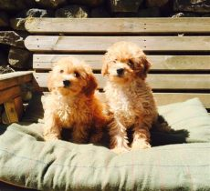 used trolines for sale cavapoochon puppies for sale in lancashire douglas kennels