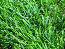 winterizer for zoysia grass nutrient deficiencies