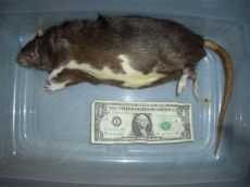 feeder rats near me live and frozen feeder rats for sale in middle tennessee