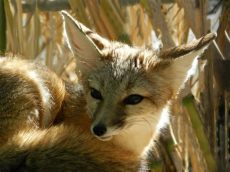 kit animal fox kit