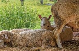 Awake-Sheep
