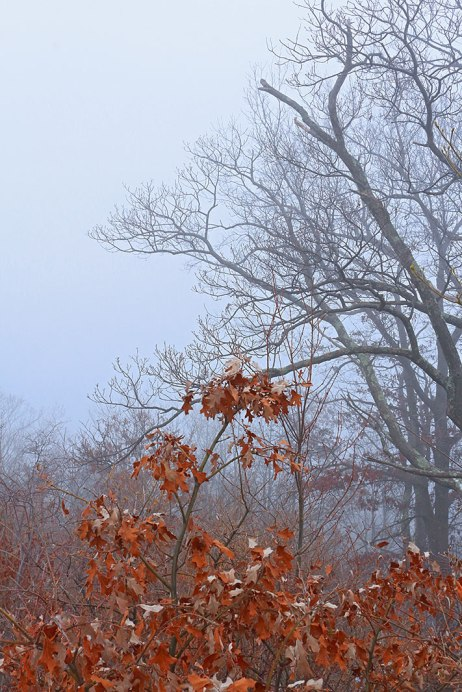Red-Leaves-Fog