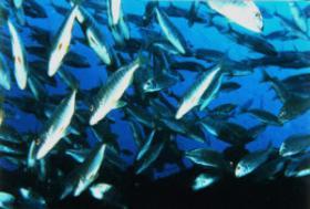 FischschwarmFuerte.jpg (12276 Byte)