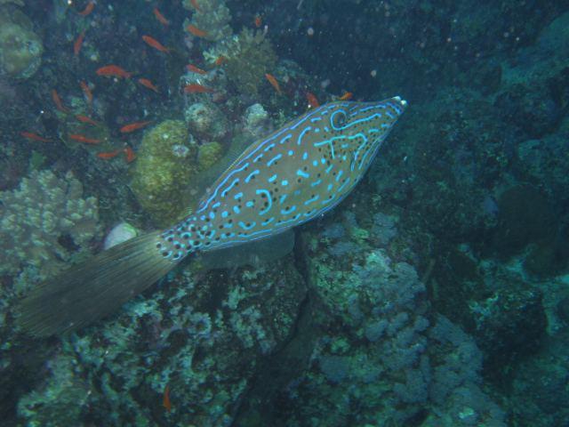 Feilenfisch Lamaya