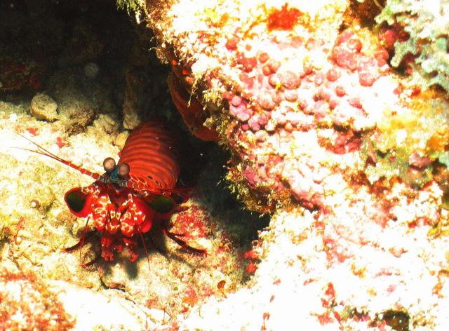 Reisebericht Tauchen Biyadhoo Malediven 2011, Fangschreckenkrebs