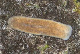 Strudelwurm